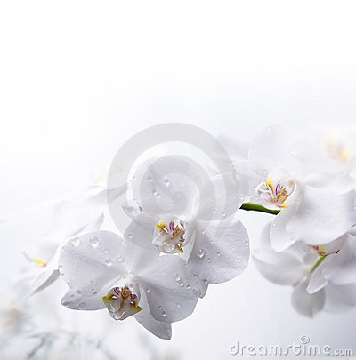 White orchid on the water