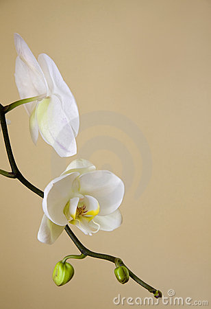 Free White Orchids Royalty Free Stock Images - 9117419