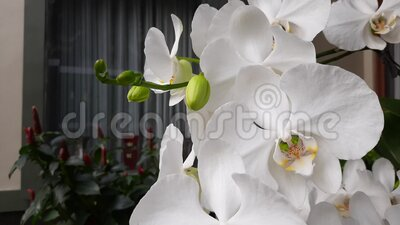 White orchids bloom in the garden.  stock video