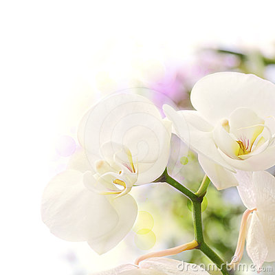 White orchids blur background
