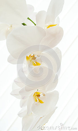 White orchids on light background.