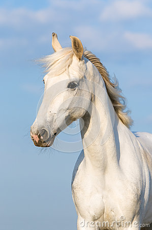 Free White Orlov Trotter Horse On The Sky Background Royalty Free Stock Photos - 26489708