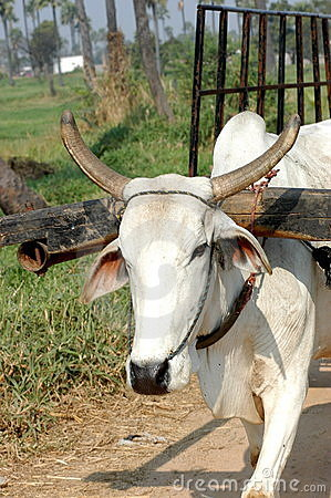 White ox pulling cart