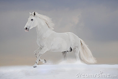 White P.R.E. stallion runs free in winter
