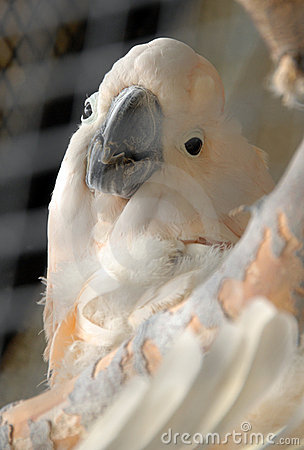 Free White Parrot Royalty Free Stock Photography - 3183547