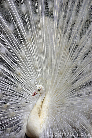 Free White Peacock 2 Stock Photography - 2568652