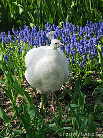 White Peafowl in spring meadow