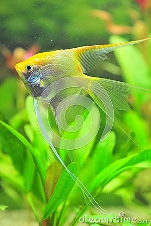 White pearled diamond angel fish