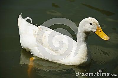 White Pekin Duck in a pond