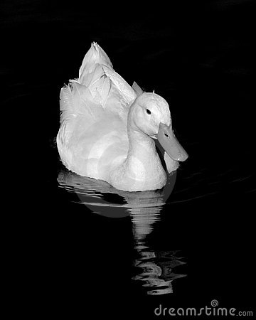White Pekin Duck with reflection