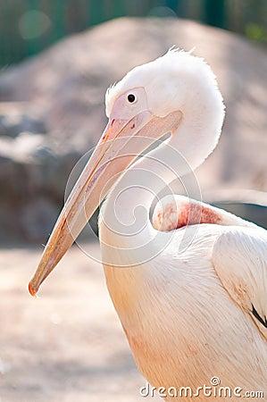 Free White Pelican Stock Image - 19372071