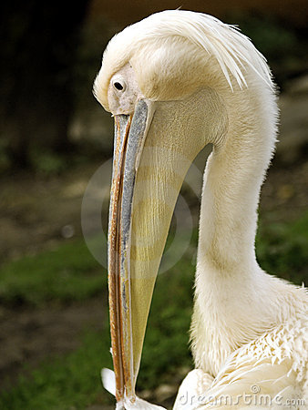 Free White Pelican Stock Photography - 21290902