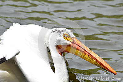 White pelican 2013