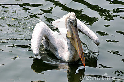 White pelican flying water
