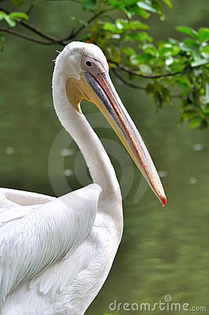 A white pelican beside water