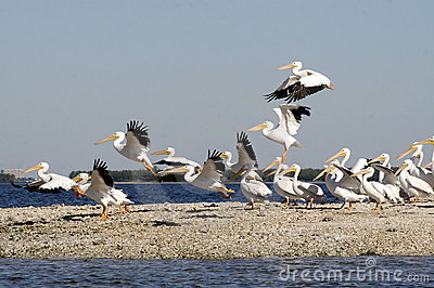 White Pelicans on beach