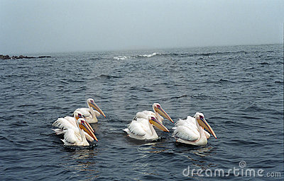 White pelicans, Pelican Bay, Namibia