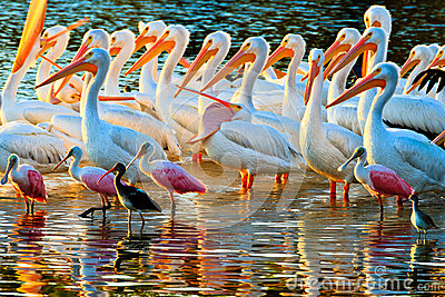 White Pelicans and Spoonbills
