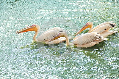 White pelicans wading in a pond