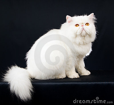 White Persian on black background