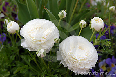 White Persian Buttercup