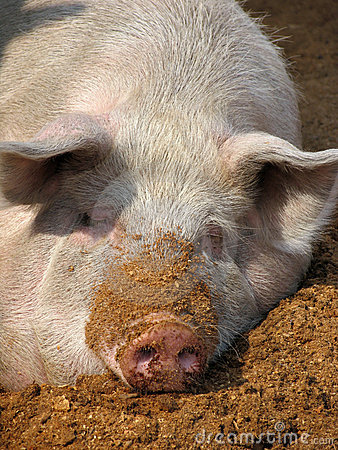 Free White Pig Stock Images - 11999284
