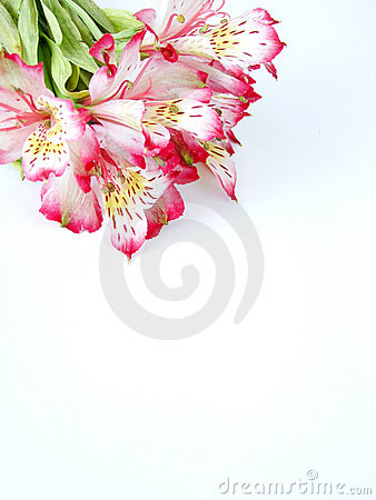 White and Pink Alstroemeria flowers