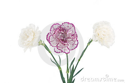 White and pink blooming carnation flowers