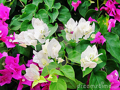 White and pink bougainvilleas