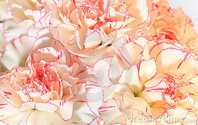 White-pink carnation flowers background