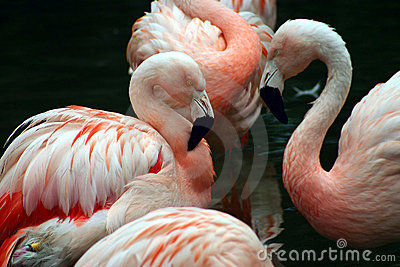 White and pink flamingos grooming themselves