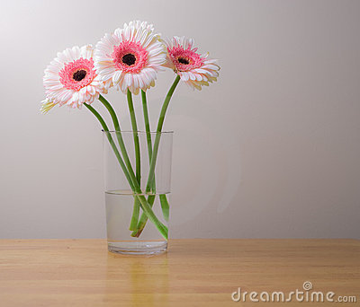 White and pink gerber daisies in vase