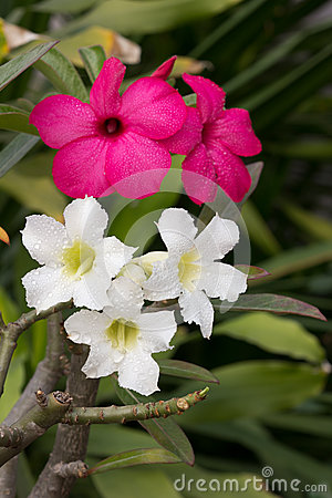 White and pink impala lily