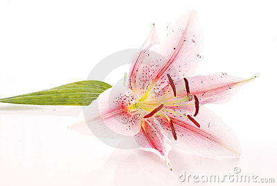 White And Pink Lily