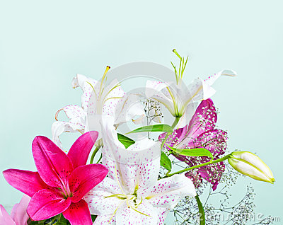 White and pink lily flowers