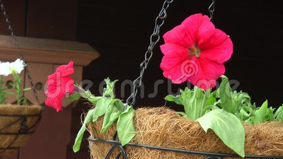 White and pink Petunia flowers at the railway station stock footage