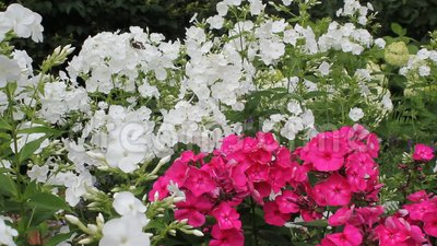 White and pink Phlox blossom in daylight. White and pink Phlox blossom stock video footage