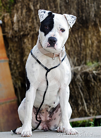 Free White Pitbull Dog With Black Eye Patch Stock Images - 87448904