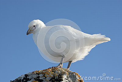 White plover sitting on a rock in Antarctica.