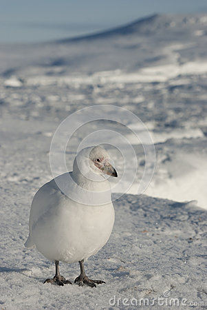 White plover on the snow in the winter Antarctic.