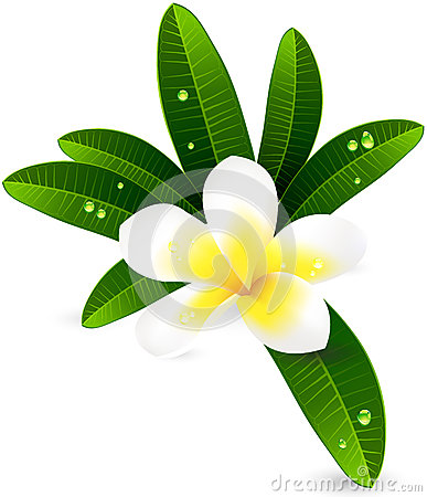 White plumeria  Frangiapani with leaves illustra