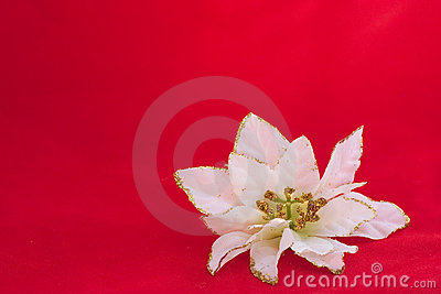 White poinsettia flower decoration