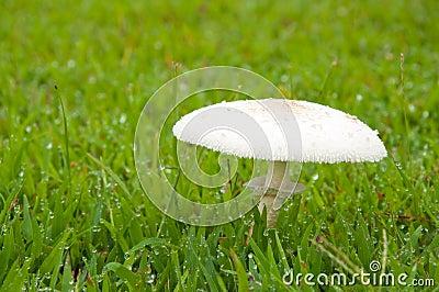 White poisonous mushroom