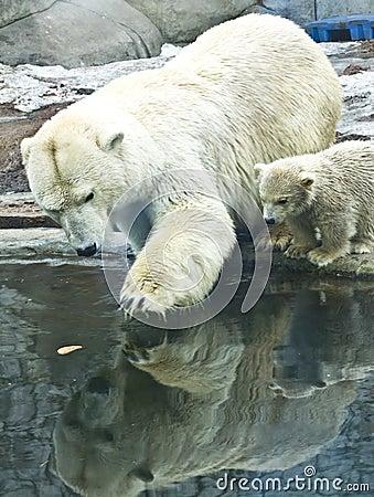 White polar bear with baby