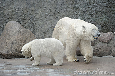 White polar bears family