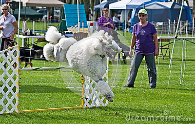 White Poodle Competes at Dog Agi Editorial Stock Photo