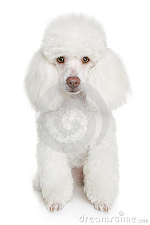 Free White Poodle Puppy Royalty Free Stock Image - 14541996
