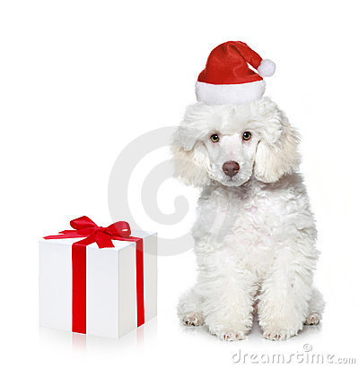 White poodle puppy with chrismas gift
