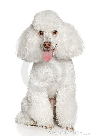 Free White Poodle Puppy. Isolated On A White Background Stock Image - 19553581