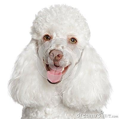 Free White Poodle Puppy Smiles Stock Photo - 19553590